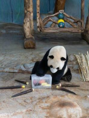 """多日高温预警 大熊猫享""""冰镇套餐"""""""