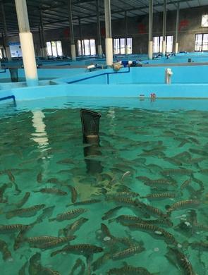 海南银鼓鱼繁育研究获新突破