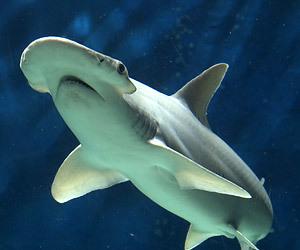 Sphyrna tiburo图自网络