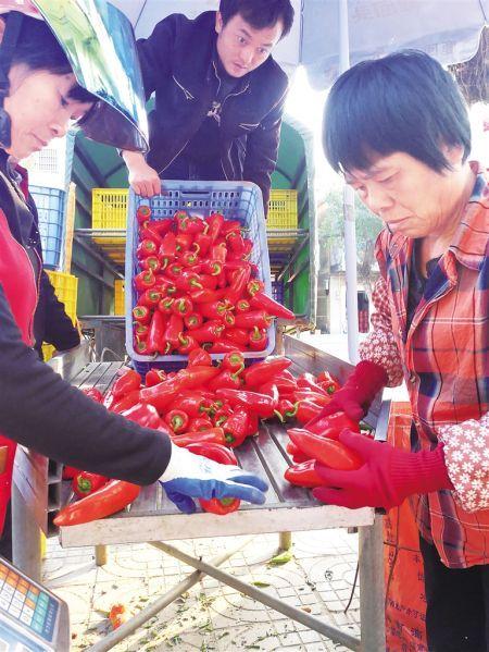 收购点在分拣包装辣椒出岛。