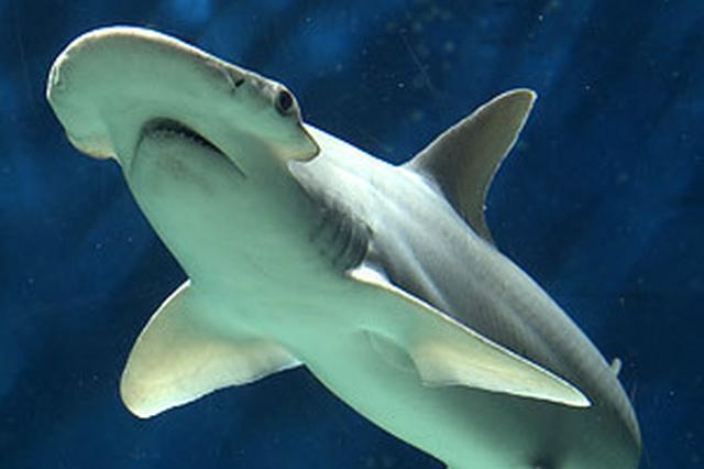 科学家首次发现吃素鲨鱼:吃海草 消化效率像海龟