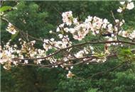 武大十月樱花开令人称奇