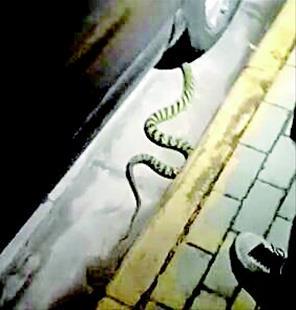 嗖!1.5米长大王蛇凌晨钻进轿车 车主拟拆车搜寻