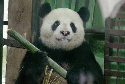 """武汉动物园回应""""大熊猫伟伟遭虐待"""":饲养员已停职"""