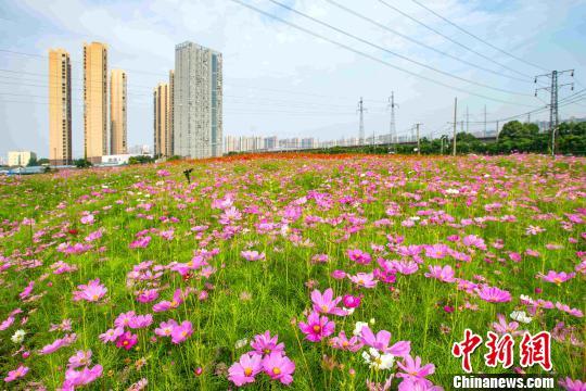 武汉利用44处闲置土地打造花田花海。武汉市园林和林业局供图
