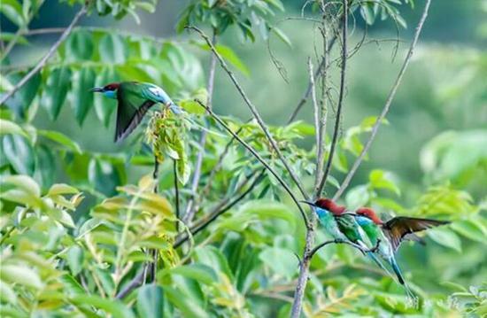 """湖北松滋发现""""中国最美小鸟"""" 观测记录到多达17只"""