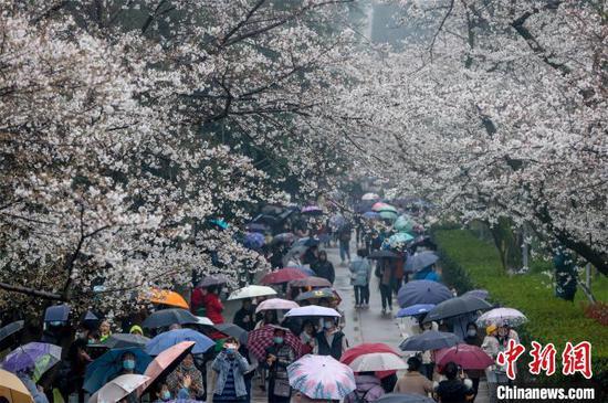 樱花树下,赏樱游客摩肩接踵 张畅 摄