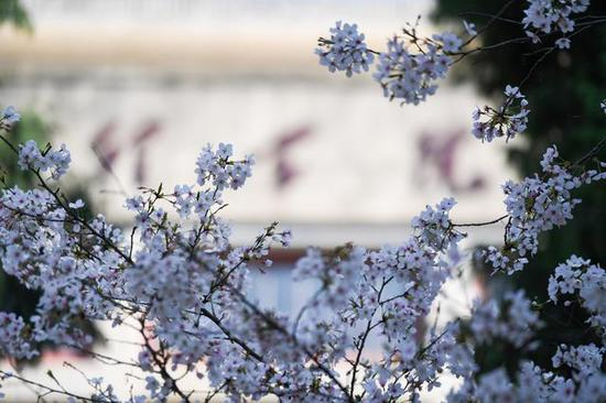 这是3月20日在武汉大学拍摄的樱花。新华社记者 陈晔华 摄