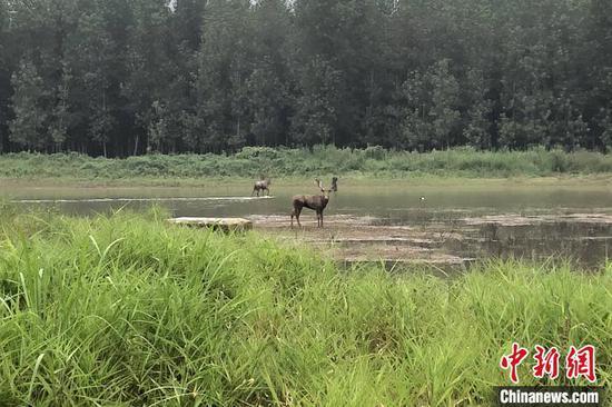 """麋鹿与记者""""对视""""(摄于7月18日) 郭晓莹 摄"""
