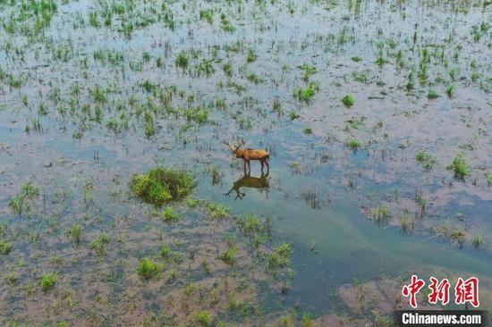 一头麋鹿独自在浅滩处觅食(摄于7月18日) 周星亮 摄