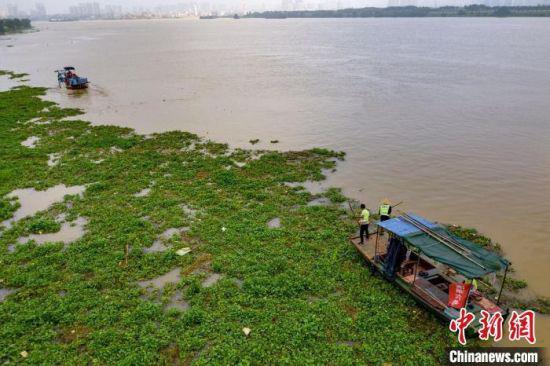 8月10日,汉江清漂队队员在汉江鱼梁洲段清理水葫芦 杨东 摄
