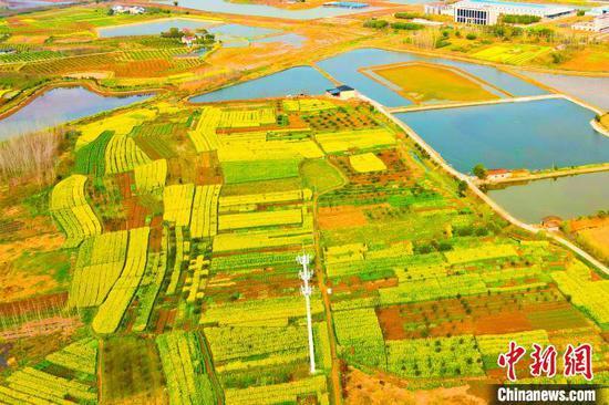 航拍位于湖北枝江董市镇的近万亩油菜花地。 陈黄奎 摄