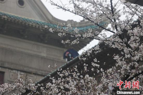 成团簇拥的樱花迎风冒雨傲然绽放 张畅 摄