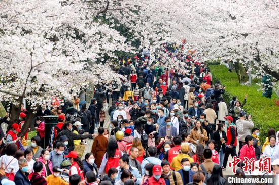 图为樱花树下人潮涌动 张畅 摄