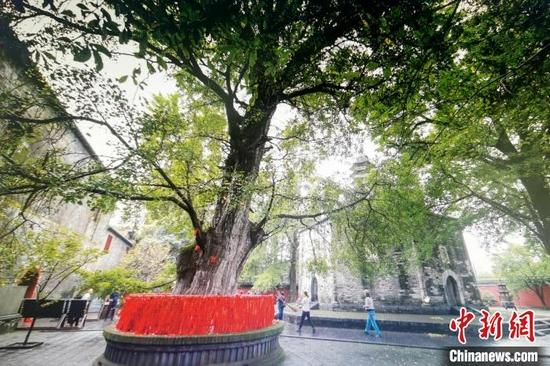 9月14日拍摄的位于襄阳市襄城区广德寺院内古银杏树 胡传林 摄