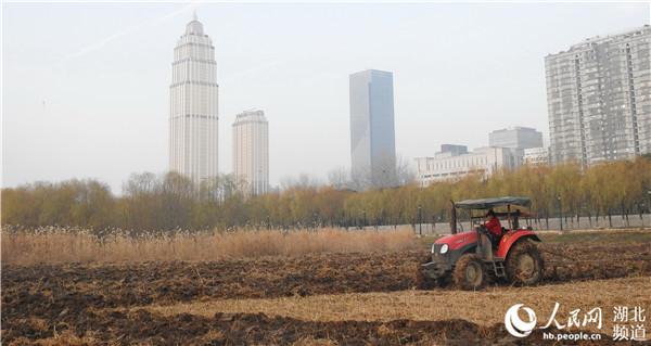 图为在汉口江滩观芦栈桥区域附近,拖拉机正在对收割粉碎处理后的芦苇地进行翻耕晒地。