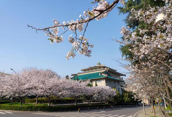 """这是3月20日清晨在武汉大学拍摄的樱花。今年樱花开放期间,武汉大学校园实行严格封闭管理,不对社会公众开放。为致敬坚守居家的英雄武汉人民,致敬万千逆行援鄂医疗队员、志愿者们,也为满足公众武大赏樱的愿望,武汉大学联合众多平台,在樱花盛花期免费开放网络""""云赏樱""""通道。新华社记者 才扬 摄"""