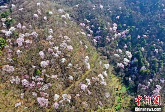 荆门市东宝区栗溪镇满山遍野的杏花、樱桃花竞相开放。朱俊波 摄