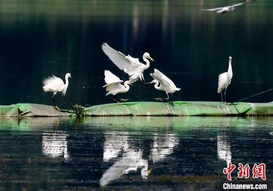 图为白鹭在武汉市沙湖公园水面栖息。赵军 摄