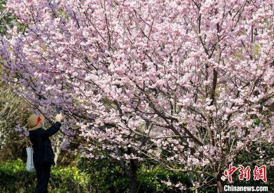 图为近日武汉大学的早樱相继开放(资料图) 张畅 摄