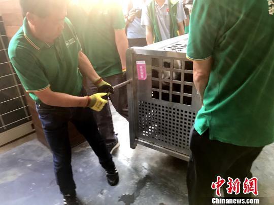 """11日下午大熊猫姐妹花""""春俏""""和""""胖妞""""顺利抵达武汉动物园 张畅 摄"""
