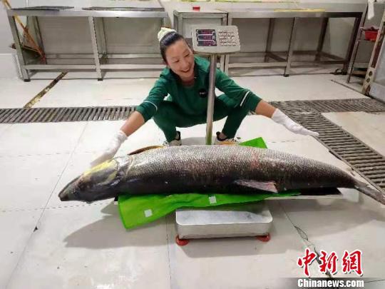 这条野生鰔鱼重达52.2公斤 陈华平 摄