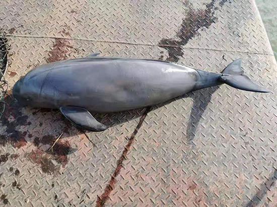 死亡江豚被打捞上岸 嘉鱼县江豚保护协会志愿者 图