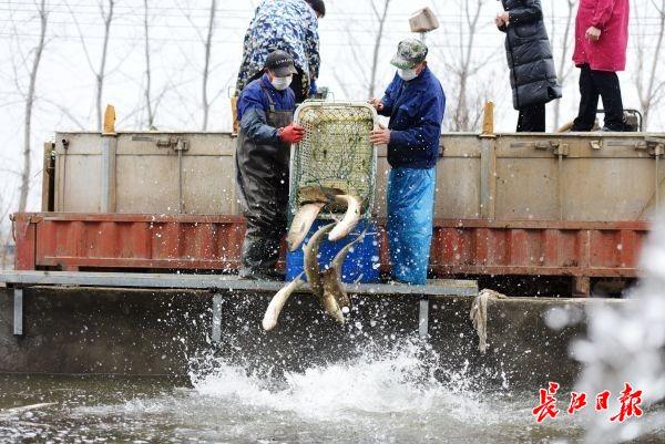 捞出的鲜鱼仅40分钟送到小区  鮰鱼和黄颡鱼套餐也上线了