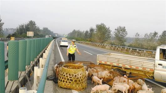 百只小猪仔高速撒欢。 图片由高警提供