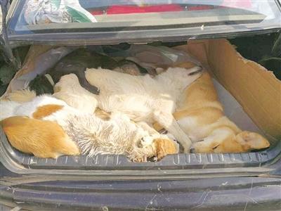 后备厢里挤满被射杀的狗,惨不忍睹