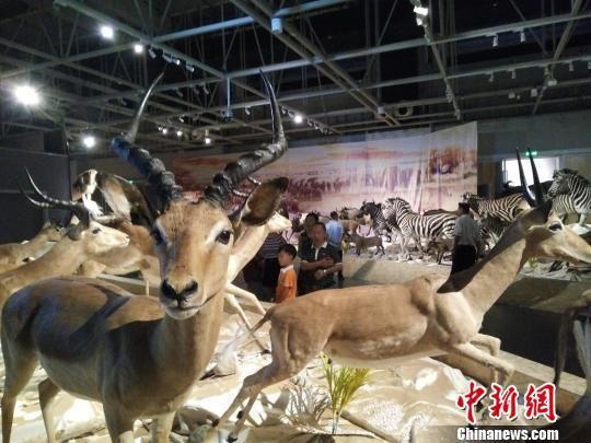 图为武汉园博园举办非洲动物标本展 徐金波 摄