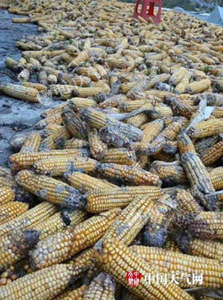 湖北恩施收获的秋玉米出现霉烂(图片来源:微信恩施天气)