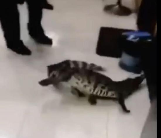 武汉暴雨惊现鳄鱼 民警将其捕捉移交动物救护中心