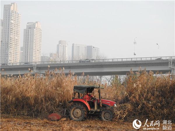 图为在汉口江滩长江二桥区域,拖拉机正在对枯萎的芦苇进行现场收割和粉碎处理。
