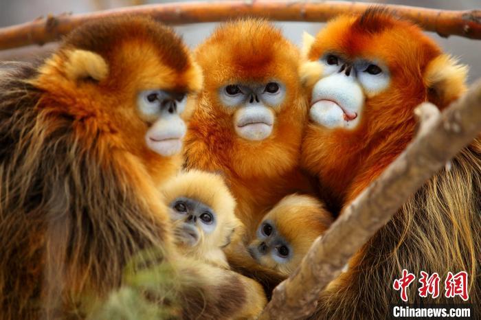 神农架金丝猴(资料图) 姜勇 摄