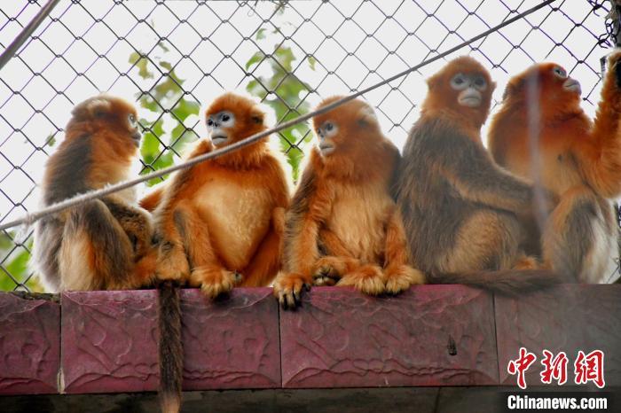 跨越500公里 武汉动物园迎来五只川金丝猴
