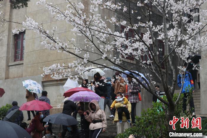风雨难挡游客赏樱热情 张畅 摄