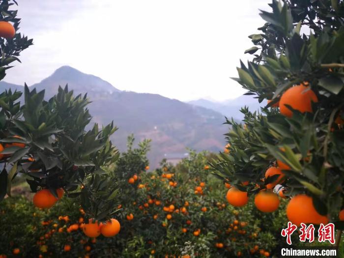 图为秭归县脐橙果园 刘亮 摄