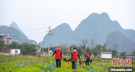 图为志愿者帮忙收割蔬菜。 徐紫娟 摄