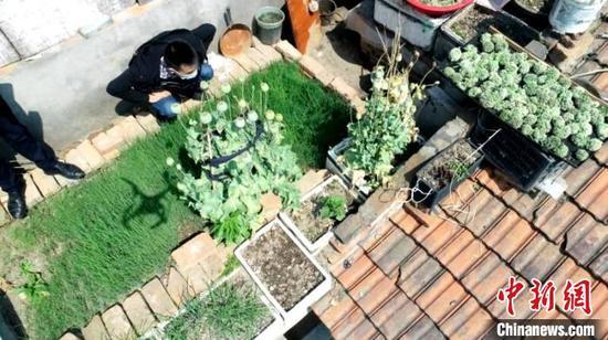 民警在居民楼房顶上发现罂粟种植点 李强 摄