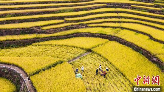 农民抢抓农时收割冷水稻。 郑家裕 摄
