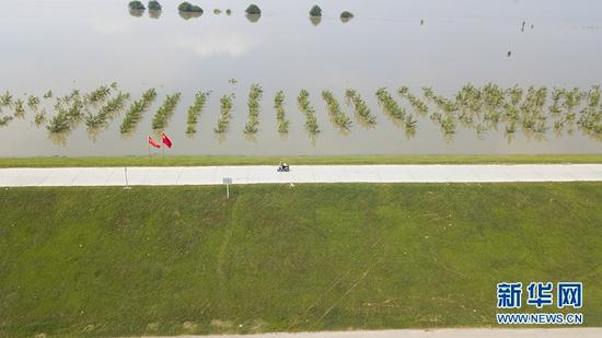 8日航拍潜江市竹根滩镇汉江孙家拐段,水位上升防护林木已被淹。新华网赵梦琪摄