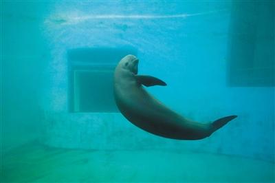 """长江江豚""""升格""""为独立物种 濒危程度比大熊猫严重"""