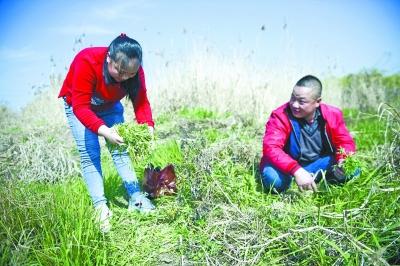 市民在二七长江大桥下的江滩摘野藜蒿 记者彭年 摄