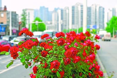 24日,机场二通道中间隔离带上的月季笑傲春风本版图片/记者李永刚