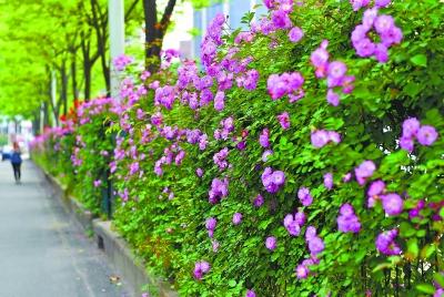 24日,唐家墩路旁盛开的粉色蔷薇