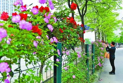 唐家墩路旁盛开的月季和蔷薇争奇斗艳