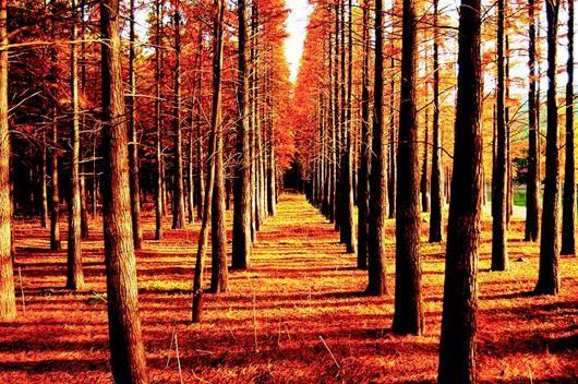 图为:钟祥大口国家森林公园水杉林秋色。