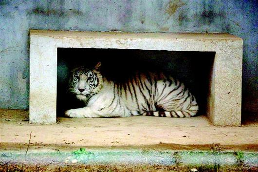 图为昨日,园方提供的白虎正面照