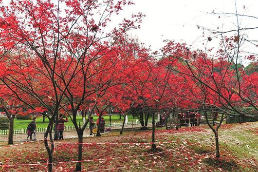 图为:久经风雨,中山公园的红叶落了一地